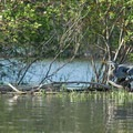 Great blue heron (Ardea herodias).- Smith + Bybee Lakes Canoe/Kayak