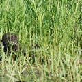 Nutria (Myocastor Coypus).- Smith + Bybee Lakes Canoe/Kayak