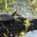 Western painted turtle (Chrysemys picta).- Smith + Bybee Lakes Canoe/Kayak