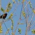 Red-winged blackbird (Agelaius phoeniceus).- Smith + Bybee Lakes Canoe/Kayak