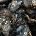 California mussels (Mytilus californianus).- Cannon Beach
