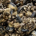 California mussels (Mytilus californianus) and gooseneck barnacles (Pedunculata).- Cannon Beach