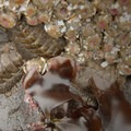 Swan's mopalia (Mopalia swanii), a type of chiton, and aggregating anemone (Anthopleura elegantissima).- Cannon Beach
