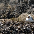 A western gull (Larus occidentalis) eating a starfish.- Cannon Beach