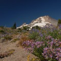 Wildflowers just above Timberline Lodge.- Timberline Lodge