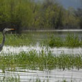 Great blue heron (Ardea herodias).- Sturgeon Lake on Sauvie Island