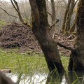 Beaver or nutria den.- Sturgeon Lake on Sauvie Island
