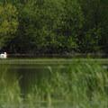 Great white pelican (Pelecanus onocrotalus).- Sturgeon Lake on Sauvie Island