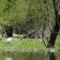 Great blue heron (Ardea-herodias).- Lower Salmon Creek Canoe/Kayak
