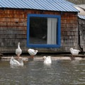 Embden geese at Felida Moorage.- Lower Salmon Creek Canoe/Kayak