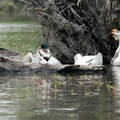 Embden geese and mallard (Anas platyrhynchos).- Lower Salmon Creek Canoe/Kayak