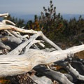 Roots of an old lodgepole pine (Pinus contorta).- Cooper Spur + Cloud Cap Hike