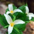 Western trillium (Trillium ovatum).- Tamanawas Falls Hike
