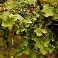 Lungwort (Lobaria pulmonaria), a type of lichen.- Ramona Falls Hike