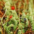 Lipstick cladonia (Cladonia macilenta).- Ramona Falls Hike