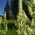 California corn lily (Veratrum californicum).- Little Crater Lake
