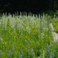 Trail from Little Crater Lake toward Timothy Lake with California corn lilies and lupine.- Little Crater Lake