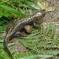 Pacific giant salamander (Dicamptodontidae).- Latourell Falls Hike