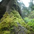 Western red cedar (Thuja plicata) with Oregon beaked moss (Kindbergia oregana).- Latourell Falls Hike