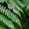 Lady fern (Athyrium filix-femina).- Latourell Falls Hike