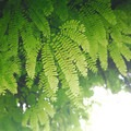 Wall of maidenhair fern (Adiantum pedatum).- Wahkeena Falls/Multnomah Falls Loop Hike