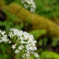Unidentified species (help us identify it by providing feedback).- Wahkeena Falls/Multnomah Falls Loop Hike