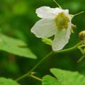 Thimbleberry (Rubus parviflorus).- Bridal Veil Falls, Oregon