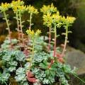 Broadleaf stonecrop (Sedum spathulifolium).- Elowah Falls HIke