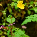 Common western monkeyflower (Mimulus guttatus).- Wahclella Falls Hike
