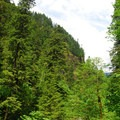 Old-growth forest in Tanner Creek Canyon.- Wahclella Falls Hike