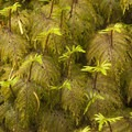 Step moss (Hylocomium splendens).- Eagle Creek Hike to Tunnel Falls