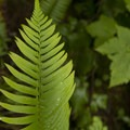 Western sword fern (Polystichum munitum).- Eagle Creek Hike to Tunnel Falls