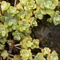 Broadleaf stonecrop (Sedum spathulifolium).- Eagle Creek Hike to Tunnel Falls