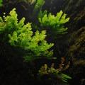 Oneonta Gorge: Maidenhair fern (Adiantum pedatum).- Oneonta Gorge