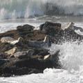 Harbor seal (Phoca vitulina).- Seal Rock State Recreation Site
