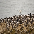 A common murre (Uria aalge) trying to make a landing.- Yaquina Head Outstanding Natural Area
