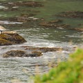 Harbor seals (Phoca vitulina).- Yaquina Head Outstanding Natural Area