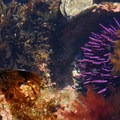 Purple sea urchin (Strongylocentrotus purpuratus).- Yaquina Head Outstanding Natural Area