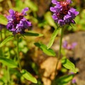 Self-heal (Prunella vulgaris).- Wilson River + Tillamook Forestry Center
