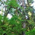 At 260 feet tall, Oregon's second tallest Sitka spruce.- Munson Creek Falls State Natural Area