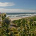 Indian thistle (Cirsium edule).- Moolack Beach