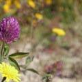 Red clover (Trifolium pratense).- Moolack Beach