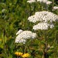 Common yarrow (Achillea millefolium).- Moolack Beach
