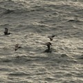 Brown pelicans (Pelicanus occidentalis).- Otter Rock + Devils Punch Bowl State Natural Area