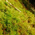 Oregon beaked moss (Kindbergia oregana).- Drift Creek Falls Hike