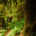 Drift Creek's old-growth forest of Douglas fir, Sitka spruce and western red cedar.- Drift Creek Falls Hike