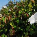 Hedge morning glory (Calystegia sepium).- Oceanside + Three Arch Rocks National Wildlife Refuge