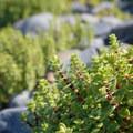Unidentified sedum species (help us identify it by providing feedback).- Oceanside + Three Arch Rocks National Wildlife Refuge
