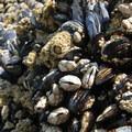 Gooseneck barnacles (Pedunculata), California mussels (Mytilus californianus), acorn barnacles (Balanus glandula) and thatched barnacles (Semibalanus cariosus).- Short Beach