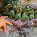 Giant green anemone and purple starfish.- Short Beach